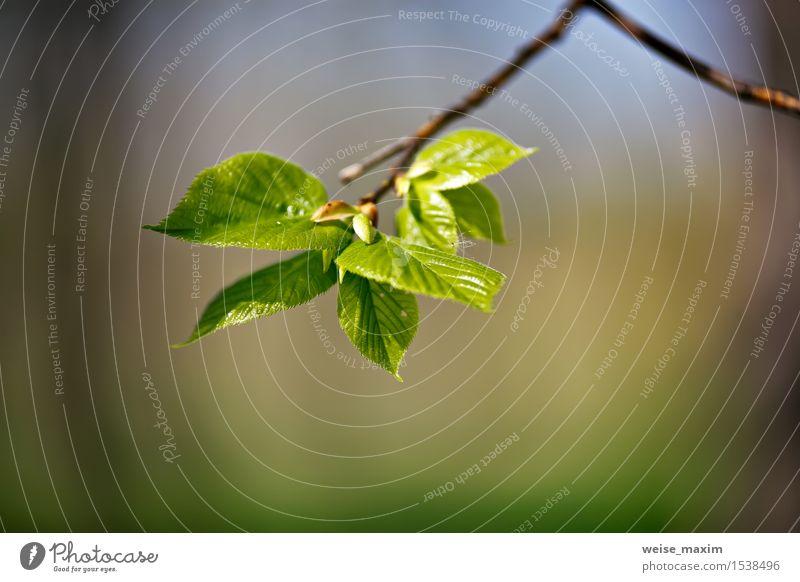 Frühlingslaub. Junge grüne Blätter. schön Leben Sommer Sonne Umwelt Natur Pflanze Klima Schönes Wetter Baum Blatt Grünpflanze Park Wald Wachstum hell neu Farbe