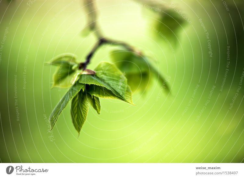 Frühlingslaub. Junge grüne Blätter. schön Leben Sommer Sonne Umwelt Natur Pflanze Sonnenlicht Baum Blatt Park Wald Wachstum hell neu Farbe Hintergrund Mai Ast