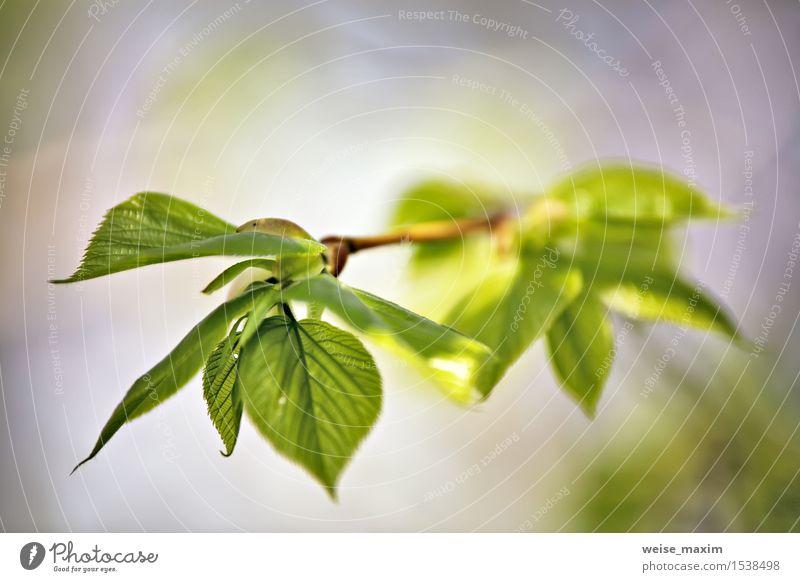 Frühlingslaub. Junge grüne Blätter. schön Leben Sommer Sonne Umwelt Natur Pflanze Schönes Wetter Baum Blatt Garten Park Wald Wachstum hell neu Farbe Hintergrund