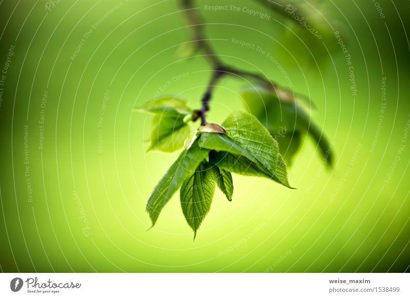 Frühlingslaub. Junge grüne Blätter. schön Leben Sommer Sonne Umwelt Natur Pflanze Baum Blatt Grünpflanze Park Wald Wachstum hell neu Farbe Optimismus