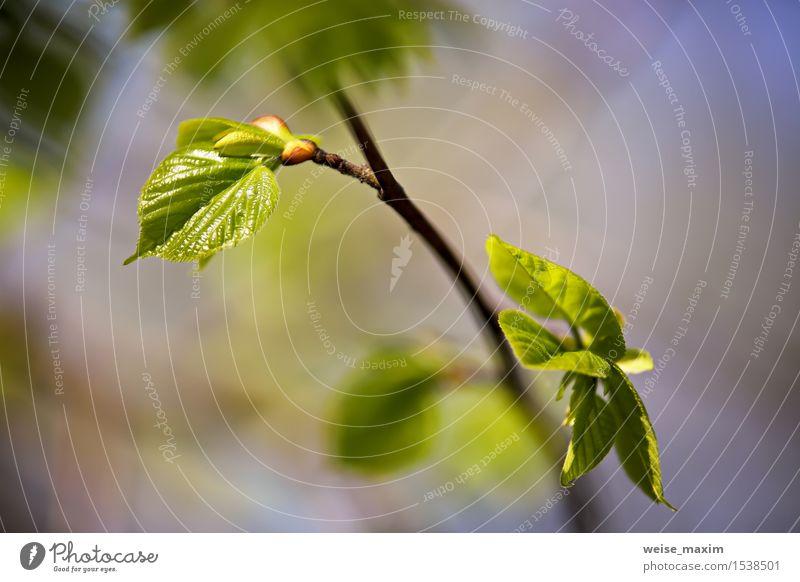 Frühlingslaub. Junge grüne Blätter. schön Leben Sommer Sonne Umwelt Natur Pflanze Schönes Wetter Baum Blatt Grünpflanze Park Wald Wachstum hell neu Farbe