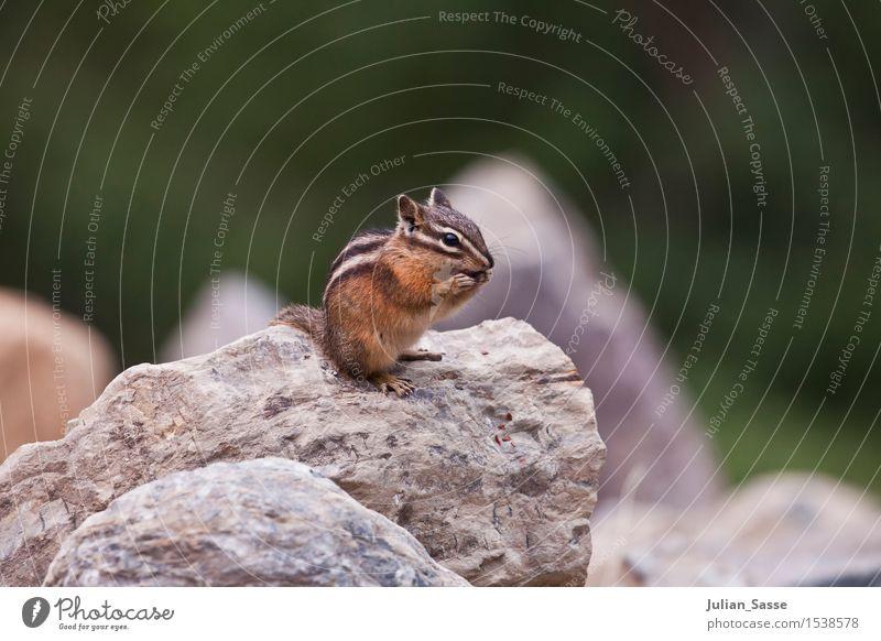 Streifenhörnchen Umwelt Tier Wildtier Eichhörnchen Croissant Nagetiere klein USA Yosemite NP Reisefotografie Stein Nahaufnahme Composing süß zierlich weich Fell