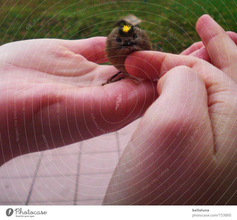 Wintergoldhähnchen Natur Hand Wiese klein Vogel sitzen Finger Rasen sanft Tierliebe Streicheln Handfläche