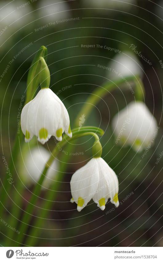 geht los II Umwelt Natur Pflanze Frühling Klima Blüte Grünpflanze Wildpflanze Märzenbecher dünn authentisch einfach Freundlichkeit frisch klein nah natürlich