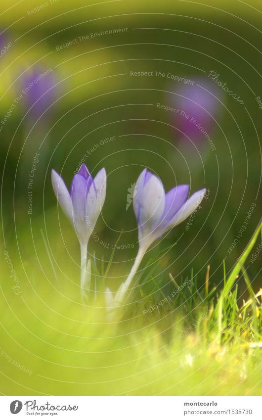 geht los Umwelt Natur Pflanze Sonnenlicht Frühling Blume Gras Blatt Grünpflanze Wildpflanze Krokusse Wiese Duft dünn authentisch frisch klein lang nah natürlich