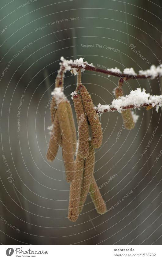 aber nur für kurze zeit Umwelt Natur Pflanze Luft Winter Klima Wetter schlechtes Wetter Wind Schnee Schneefall Sträucher Blüte Grünpflanze Wildpflanze Haselnuss