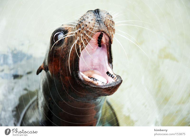 supergroßmaul Robben Tier Appetit & Hunger Gebiss Zahnarzt Schnauze Zoo Kopf Seehund Maul füttern Säugetier Wasser