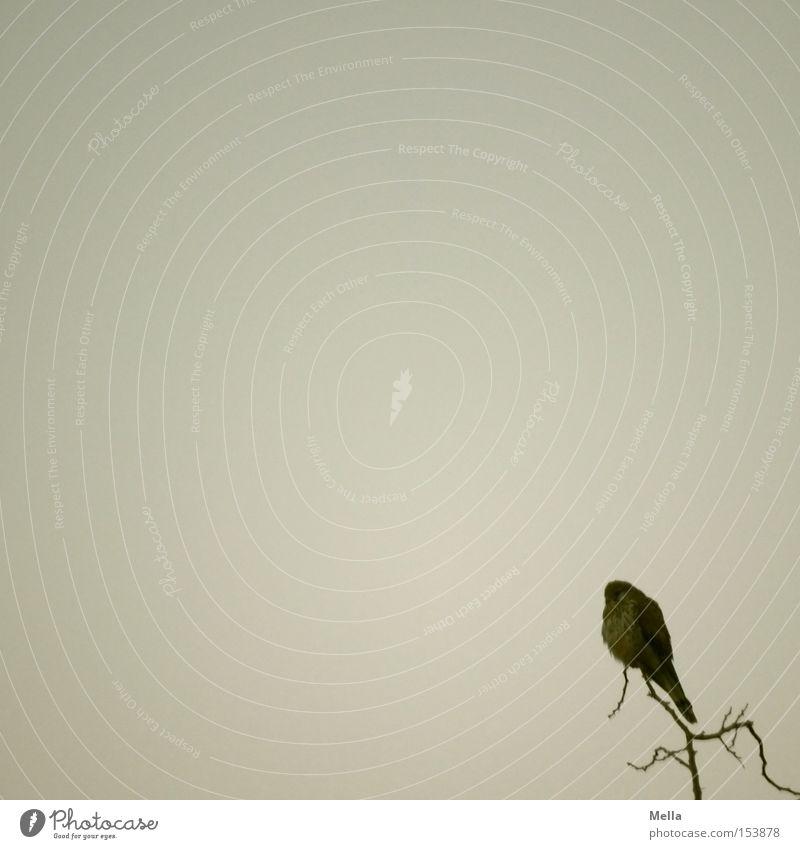 falco tinnunculus minimalis Umwelt Natur Baum Baumkrone Zweige u. Äste Tier Vogel Falken Turmfalke 1 hocken sitzen klein natürlich trist grau minimalistisch