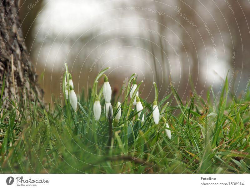 Frühlingsboten Umwelt Natur Landschaft Pflanze Baum Blume Gras Garten Park Wiese natürlich grün weiß Frühblüher Schneeglöckchen Baumstamm Baumrinde Farbfoto
