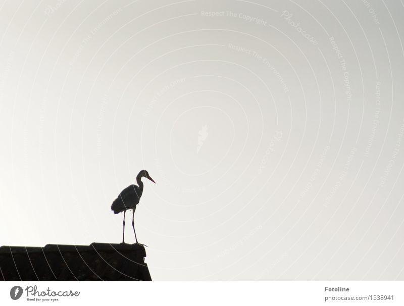 Die Übersicht behalten Tier Wildtier Vogel 1 schwarz weiß Reiher Dach Haus Schnabel Beine Schwarzweißfoto Außenaufnahme Menschenleer Textfreiraum links