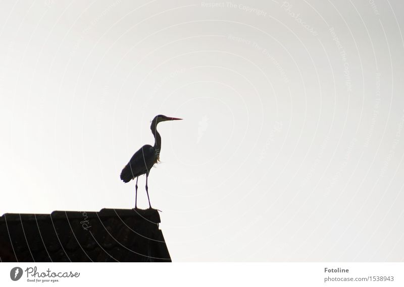 Stolz Natur Tier Wildtier Vogel 1 schwarz weiß Reiher Dach Haus Schnabel Beine Farbfoto Gedeckte Farben Menschenleer Textfreiraum links Textfreiraum rechts