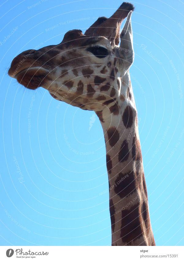 Giraffe Himmel Tier Zoo Hals Wildnis