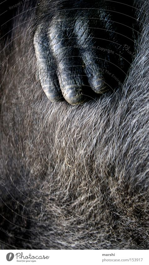 ::: monkey ::: Hand Haare & Frisuren Wärme braun Fell Zoo Säugetier Affen