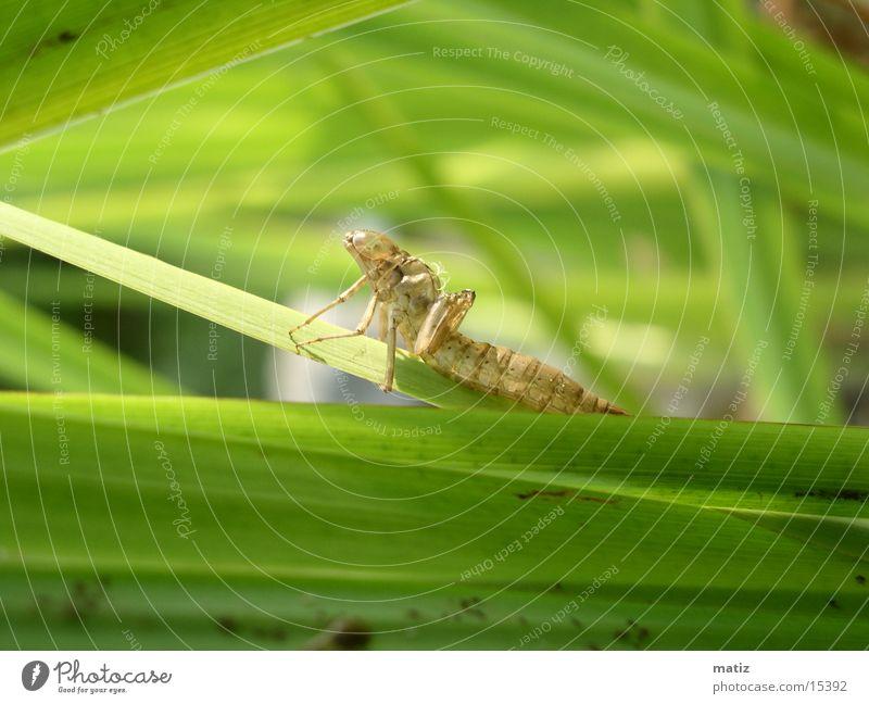 larve Libelle Larve gottesanbeter Makroaufnahme