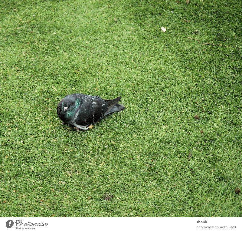 Taube müde Gras Vogel grün Müdigkeit Schwäche Park