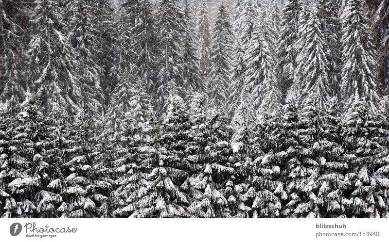 schneetannen Wald Tanne Nadelwald Baum Winter Schweiz Schwarzweißfoto Natur Landschaft Kanton Graubünden Schnee Lenzerheide Swiss Suiza