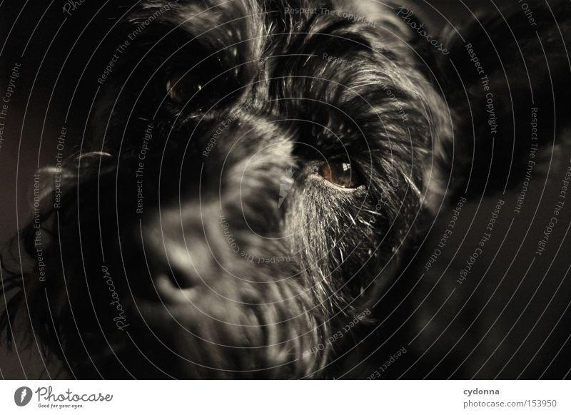 Treue Seele Tier Auge Leben Gefühle Hund Fell Haustier Säugetier Schnauze Treue Begleiter Zwergschnauzer