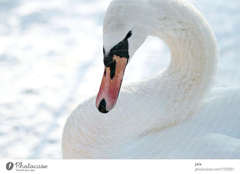 winterschönheit Schwan elegant Tier Schnabel Hals Vogel Feder weiß Winter Schnee kalt ästhetisch Stolz