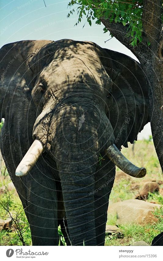Elefant Südafrika Afrika Krüger Nationalpark