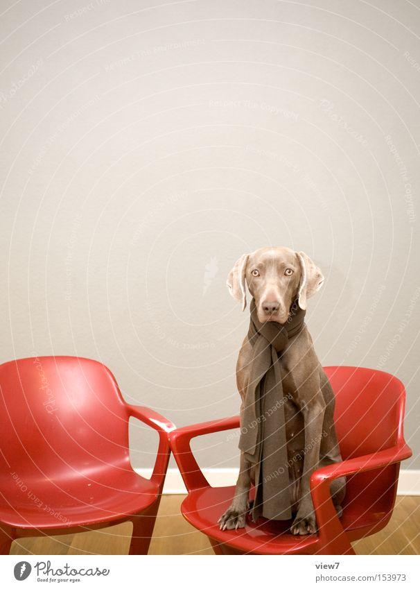 Psychiaterin rot ruhig Traurigkeit Hund braun sitzen warten ästhetisch authentisch Stuhl Neugier Sitzgelegenheit Interesse Säugetier Weisheit bewegungslos