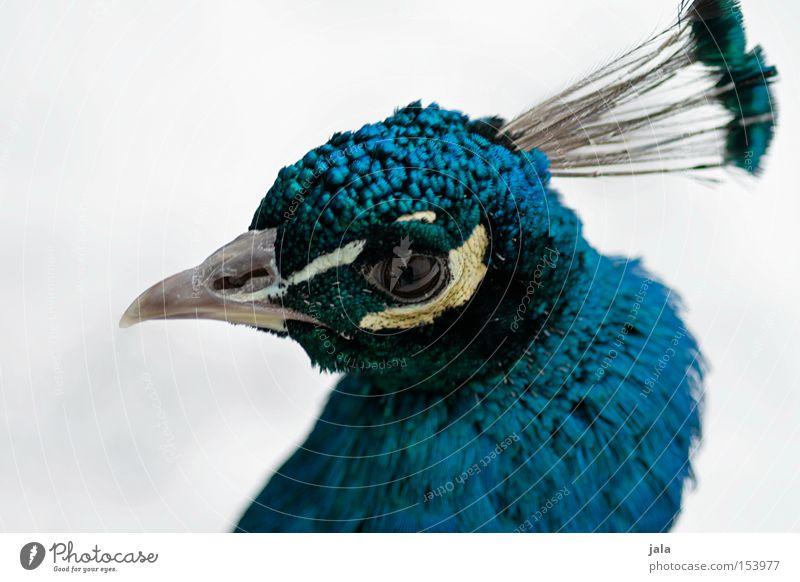 pavo cristatus Pfau blau Vogel Feder Kopf Auge Tier schön ästhetisch Makroaufnahme Nahaufnahme Stolz Blick Schnabel Winter Geflieder