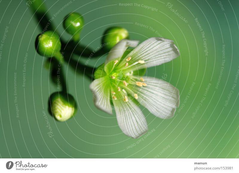 Venus Blüte Blühend weiß grün Frühlingsfarbe Natur schön Winter kalt Wohnzimmer Farbe Venusfliegenfalle Winterblüher