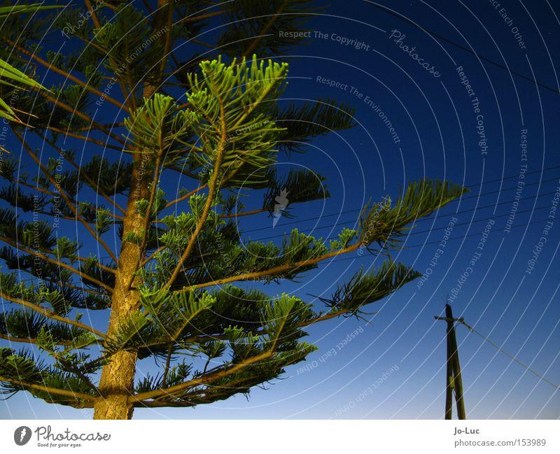 andentanne Dämmerung Tanne Baum Sonnenaufgang blau Himmel grün Pflanze Fichte Pinie Tannennadel