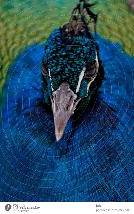 royal blue Pfau blau Vogel Feder Kopf Auge Tier schön ästhetisch Makroaufnahme Nahaufnahme Stolz Blick Schnabel Geflieder
