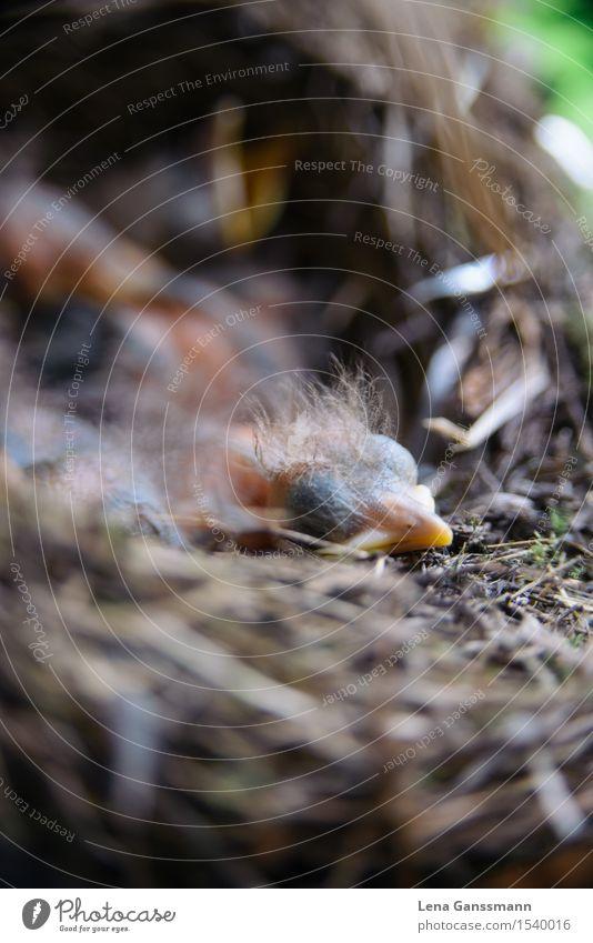 Amselbaby schläft Tier Wildtier Vogel Tiergesicht 1 Tierjunges Holz liegen schlafen hässlich kuschlig klein nah nackt neu niedlich Stadt wild braun gelb rosa