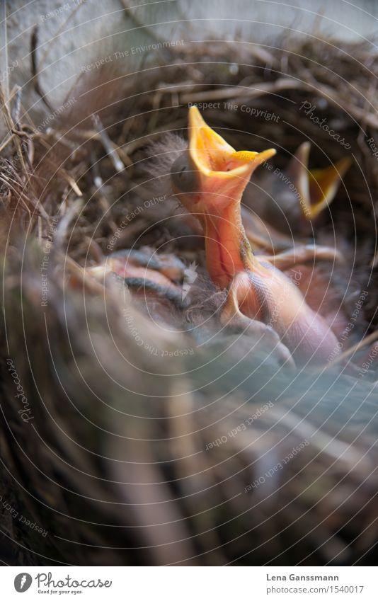 Amselbaby hat hunger Tier Frühling Wildtier Vogel Tiergruppe Tierjunges Essen Wachstum natürlich neu niedlich braun gelb rosa Lebensfreude Frühlingsgefühle