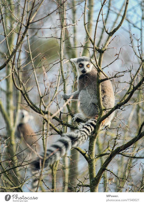 katta Umwelt Frühling Baum Tier Wildtier Fell Zoo Streichelzoo 1 füttern Schwanz Blick Katta Affen beobachten Neugier Klettern Farbfoto Menschenleer