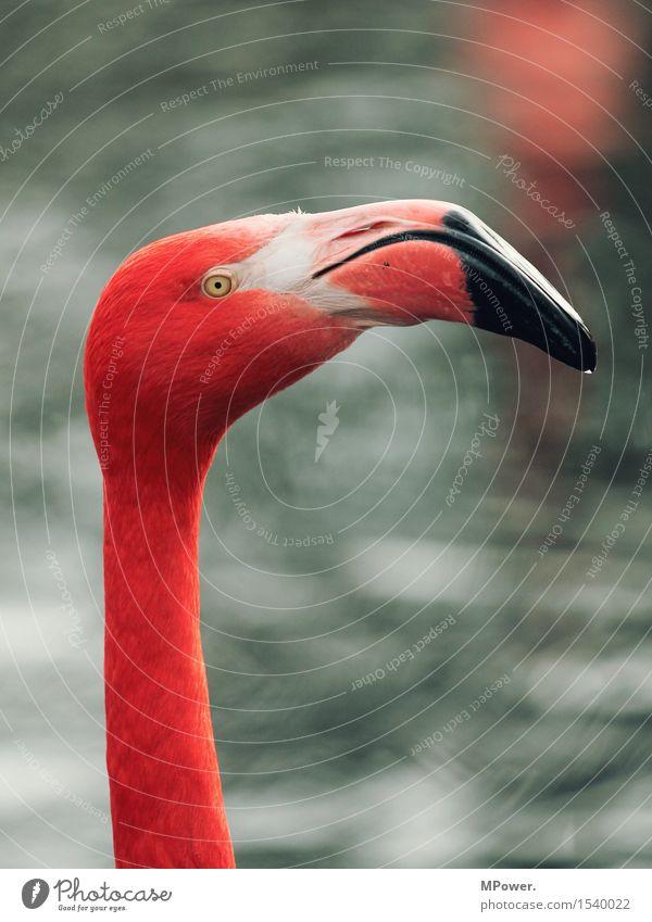 vogel zwei Tier Vogel Flamingo Zoo 1 Blick stehen rosa Wasser Schnabel mehrfarbig Feder Farbfoto Außenaufnahme Menschenleer Textfreiraum oben Tag