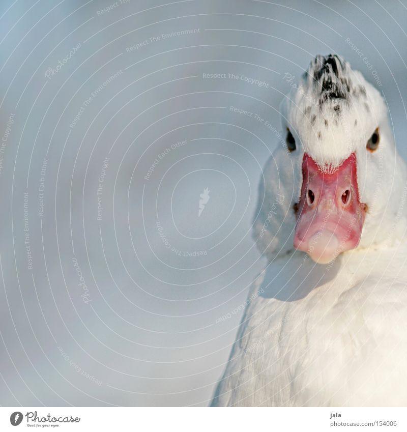 Shin Sang Duck Lee Tier Schnabel Hals Vogel Feder weiß Winter Schnee kalt Ente Kopf Auge Makroaufnahme Nahaufnahme
