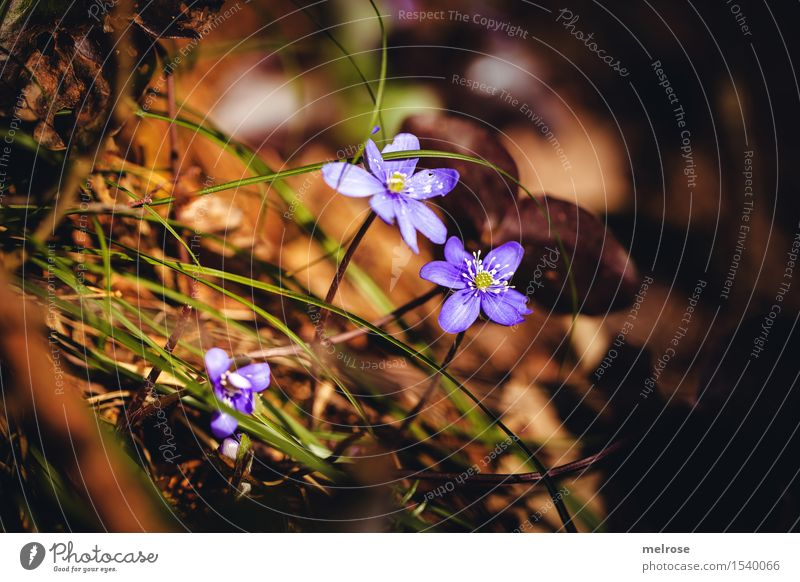 mehr Wärme elegant Stil Umwelt Natur Erde Frühling Schönes Wetter Pflanze Blume Gras Leberblümchen Hahnenfußgewächse Blütenpflanze Blumenstengel Waldboden
