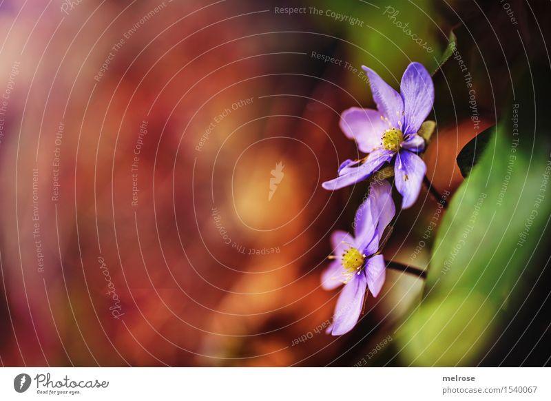 Zusammenhalt Umwelt Natur Erde Frühling Schönes Wetter Pflanze Blume Wildpflanze Hahnenfußgewächse Blütenpflanze Leberblümchen Blatt Wald Farbfleck Lichteinfall