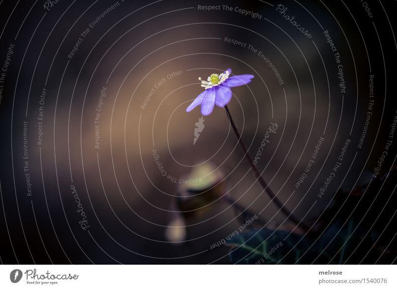 Star is born elegant Stil Natur Erde Frühling Schönes Wetter Blüte Wildpflanze Leberblümchen Blütenpflanze Hahnenfußgewächse Frühblüher Blütenstiel