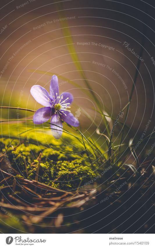 im Rampenlicht elegant Stil Umwelt Natur Erde Frühling Schönes Wetter Pflanze Blume Gras Moos Wildpflanze Hahnenfußgewächse Blütenpflanze Leberblümchen