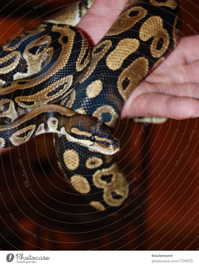 Die Schlange gefährlich glänzend clever Tier bedrohlich Geschicklichkeit Farbe Bewegung