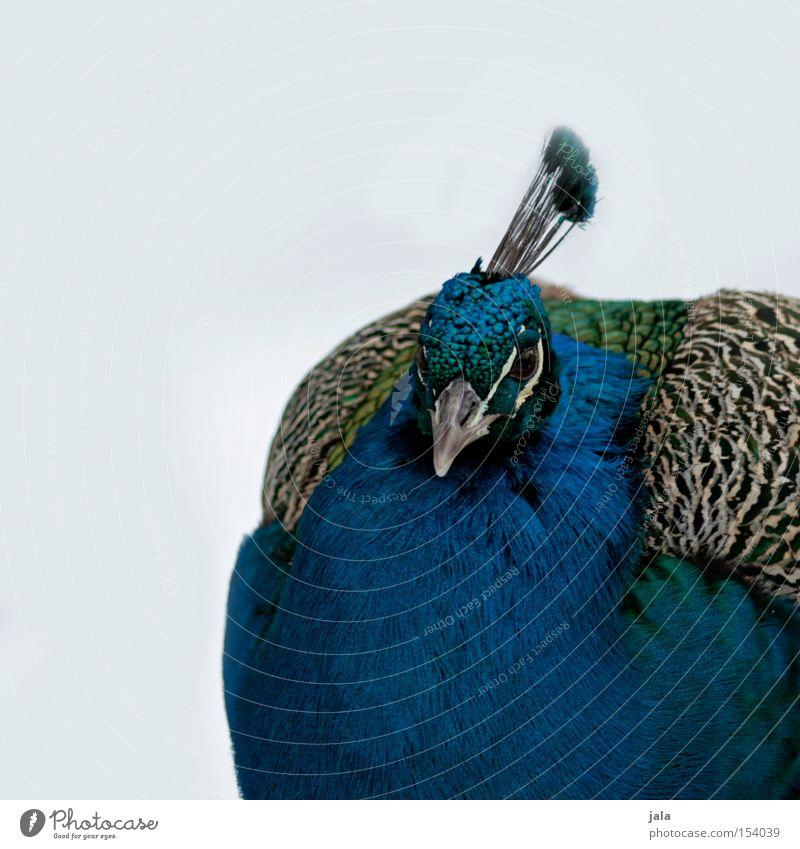 pavo cristatus II Pfau blau Vogel Feder Kopf Auge Tier schön ästhetisch Schnee Stolz Blick Schnabel Winter Geflieder