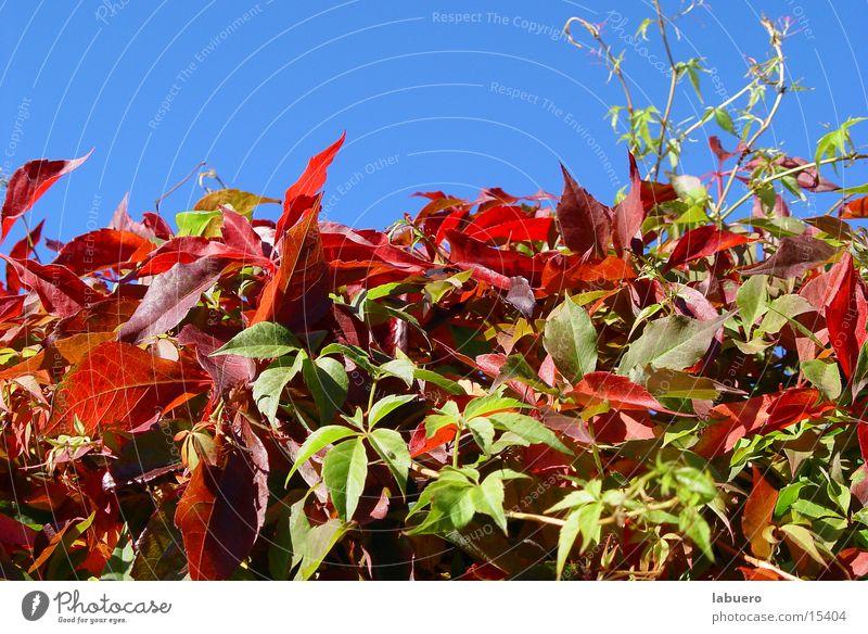 Herbstfarben Blatt Sträucher Hecke Herbstlaub