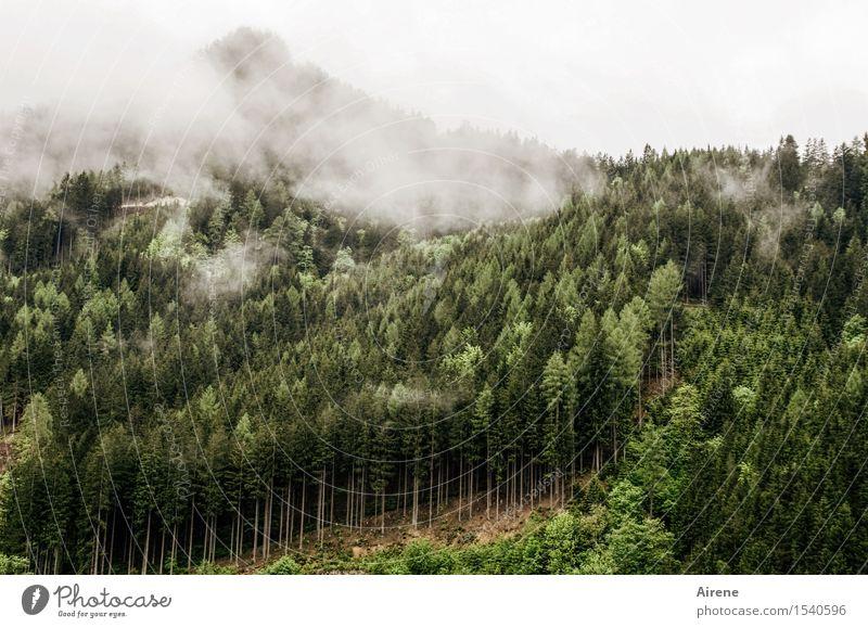 düstere Zeiten Landschaft schlechtes Wetter Nebel Baum Nadelbaum Tanne Fichtenwald Wald Hügel Berge u. Gebirge Nadelwald Bergwald bedrohlich dunkel trist