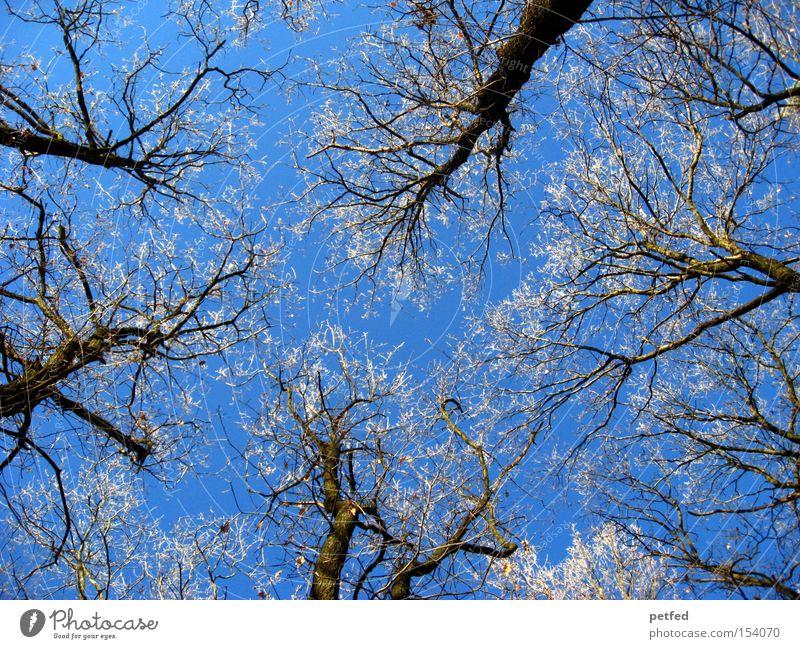 Frostkronen Natur Himmel Baum blau Winter Wald kalt Schnee oben Eis hoch Ast Zweig