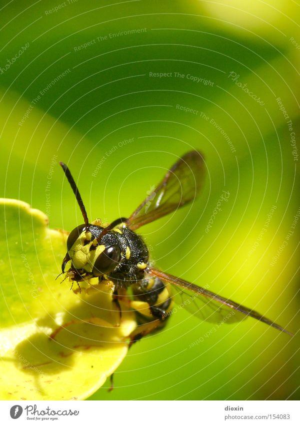 Mimikry - Schwebfliege (Syrphidae) Insekt Facettenauge Flügel Fühler Blatt Natur Makroaufnahme Schweben fliegen Täuschung vorgaukeln Mundwerkzeug Chitin
