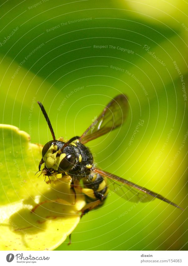 Mimikry - Schwebfliege (Syrphidae) Natur Blatt Biologie fliegen Luftverkehr Flügel Insekt Schweben Fühler Täuschung Fälschung vorgaukeln Facettenauge Chitin