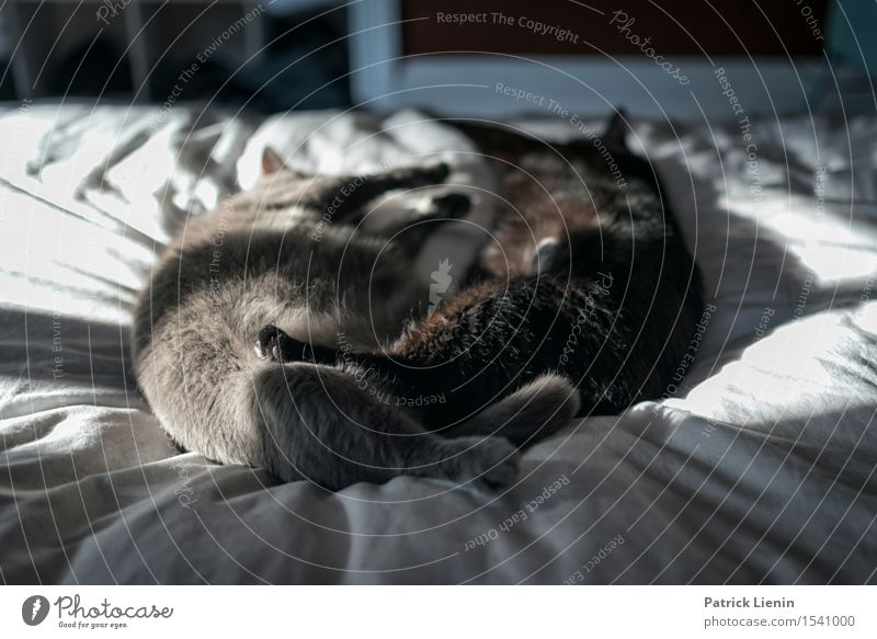 Mittagsschlaf schön Gesicht Erholung ruhig Haus Frau Erwachsene Freundschaft Natur Tier Pelzmantel Haustier Katze Pfote 2 niedlich grau schwarz Akzeptanz
