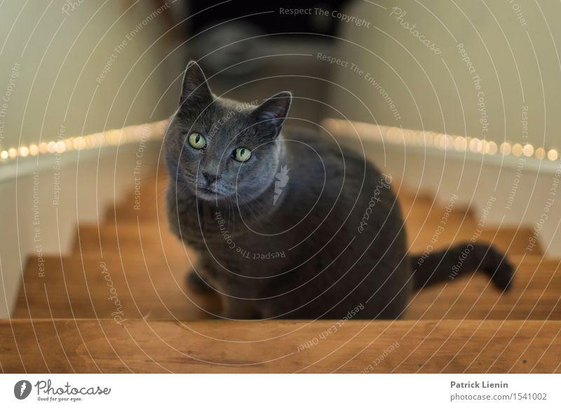 Cowy Katze Frau Natur schön Erholung Tier Haus Gesicht Erwachsene grau Freundschaft ästhetisch stehen niedlich Haustier reizvoll