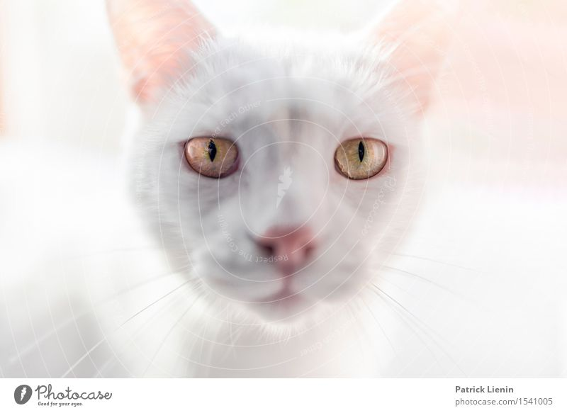 Loki schön Gesicht Erholung Haus Freundschaft Natur Tier Pelzmantel Haustier Katze Tiergesicht 1 stehen ästhetisch einzigartig niedlich wild weiß Geborgenheit