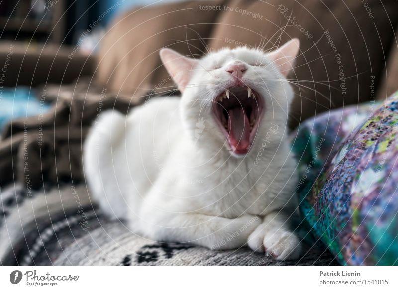 Hundsmüde Katze Natur schön weiß Erholung ruhig Haus Tier Gesicht Freundschaft wild ästhetisch verrückt einzigartig niedlich Zähne