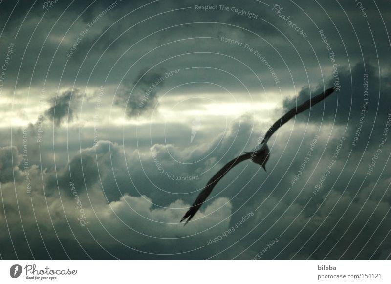 Der Himmelsstürmer Vogel Wolken fliegen Sturm dunkel wild Flügel grau Wetter Gewitter Himmelstürmer Luftverkehr