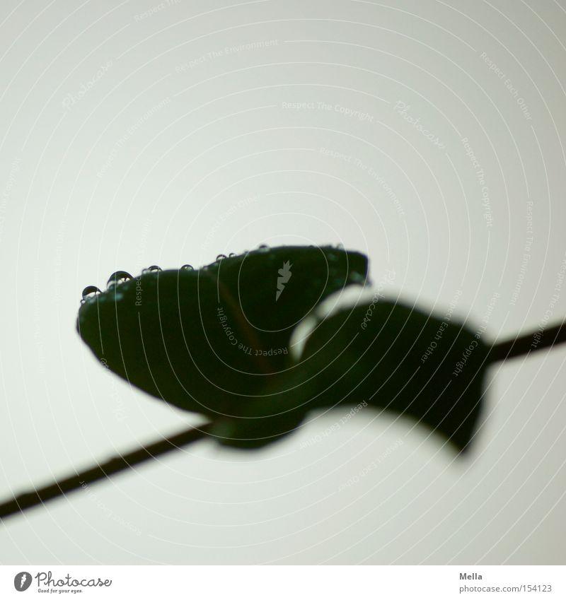 Kunst by nature II Natur Pflanze Blatt grau Umwelt nass Wassertropfen trist Tropfen natürlich Tau diagonal trüb